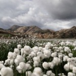 cotton-grass-iceland_30726_990x742
